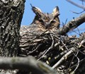 Nature Cam-Great Horned Owl Nest
