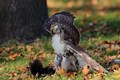 Red-tailed_Hawk_Credit_Patrick_Connolly