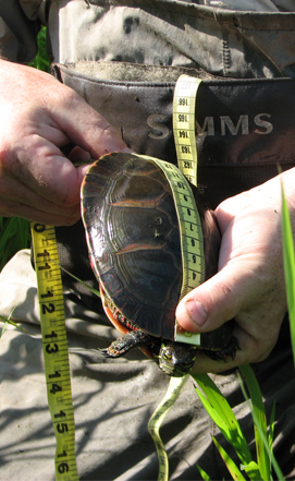 Turtle Measurement