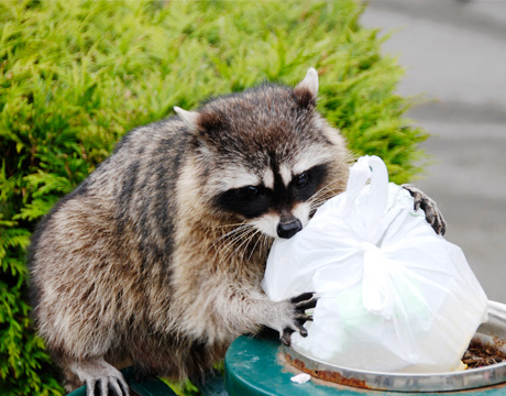 raccoon-garbage-460x360