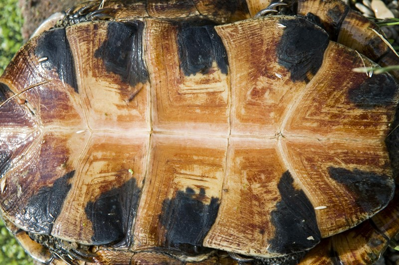 Adopt-a-Turtle | Lake County Forest Preserves