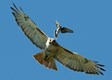 Red-tailed_Hawk_w__angry_Kingbird_(red_crown_displayed)_credit_Robert_Visconti