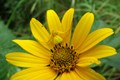 Yellow-Crab-Spider-on-Silphium_(Credit_Mat_Buster)