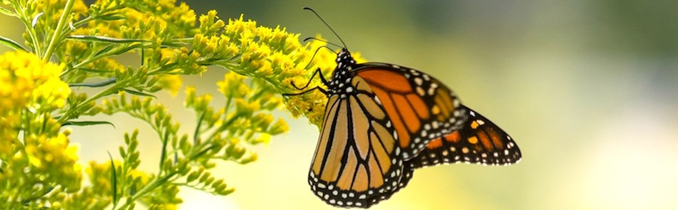 Monarch––Ask An Educator