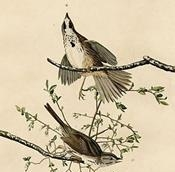 Song_sparrow_(Audubon)-1
