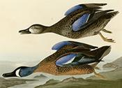 313_Blue-Winged_Teal