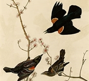 Red-winged blackbird (Audubon)