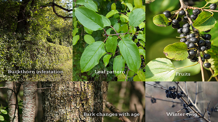 Buckthorn_Identification700x400