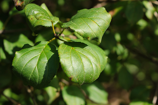 Buckthorn_Leaves600x400