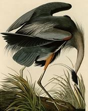 Great blue heron (Audubon)